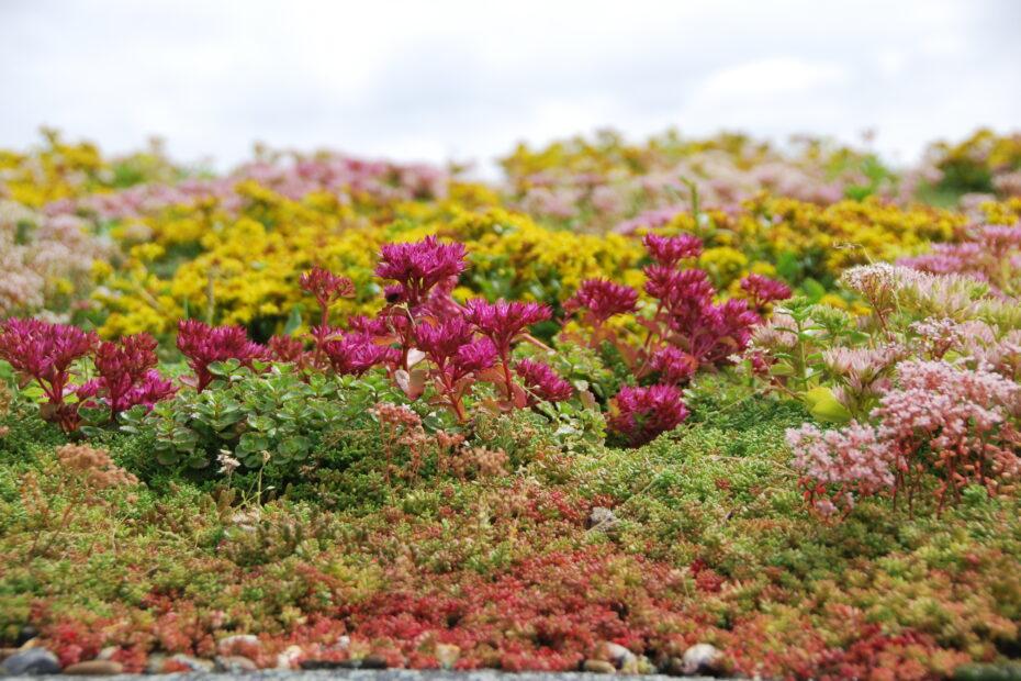 Sempergreen Sedum Green Roof (3)